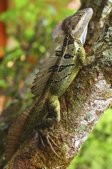 Common_Basilisk_Male_Basiliscus_basiliscus_2