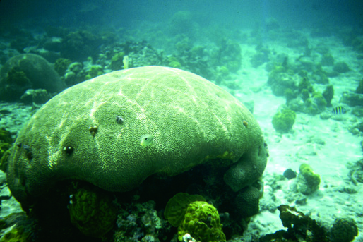 Brain coral.web