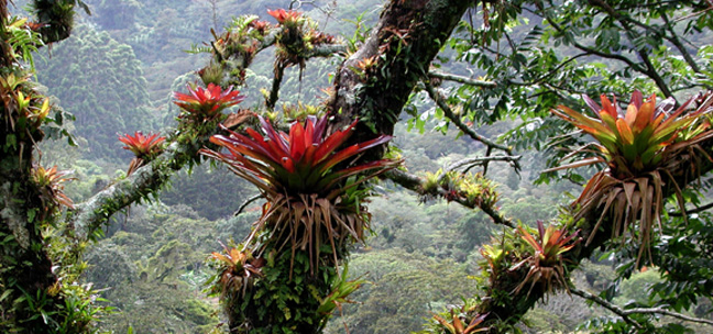 Cloudforest bromeliads.web.pg1