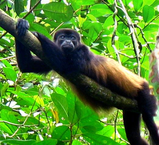 Howler monkey, Alouatta paliatta