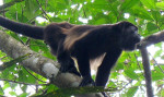 Monkey Summer: Fieldwork in Panama