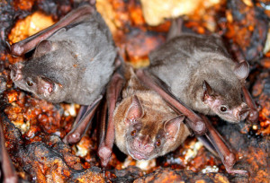 Phyllostomatid_Bats_4