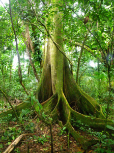 Rainforest buttress tree.web