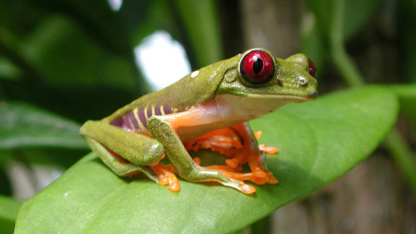 Red-eyed treefrog.web,pg1