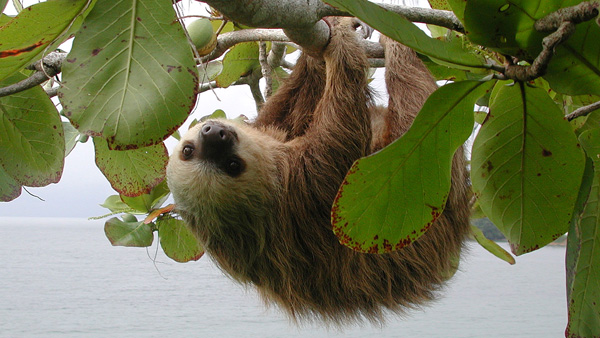 Two-toed sloth.web.pg1