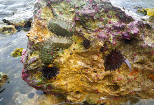 Chitons & Urchins, Rocky Intertidal