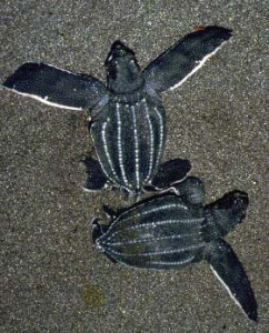 baby leatherbacks.web