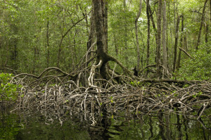 mangrove forest.web