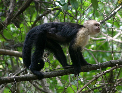 white-faced capuchin1.web