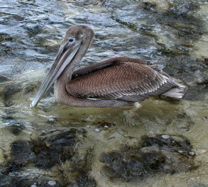 Brown pelican.web