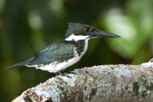 Green Kingfisher.web