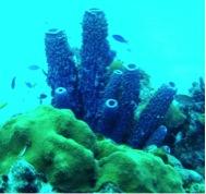 boulder-coraltube-sponges